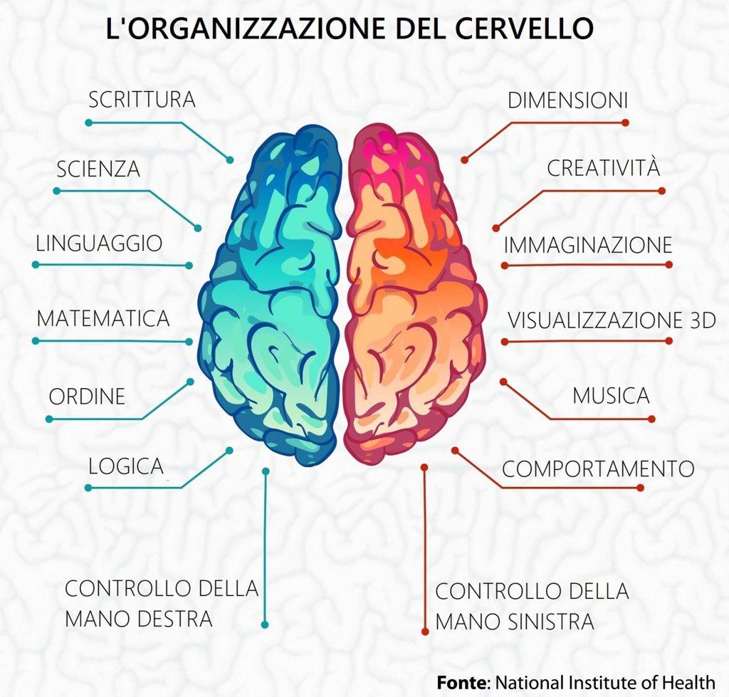 Lorganizzazione del cervello e degli emisferi 1